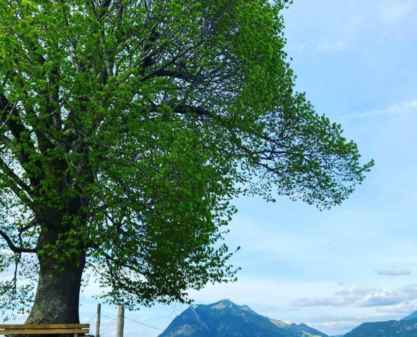 Mächtige Linde auf der Wittelsbacher Höhe mit Blick zum Grünten.