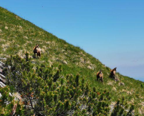 freistil. Oberallgäu. Tierwelt. Drei Gämse stehen am Berghang überhalb von Latschenkiefern